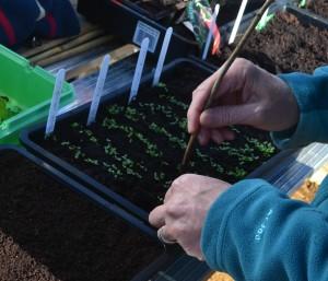 Pricking out lettuce seedlings