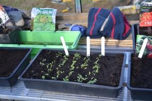 1 week old germinated lettuce seedlings