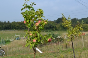 James Grieve apples in the orchard