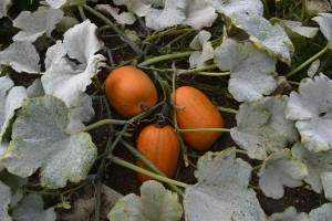 Winter squash on the manure heap