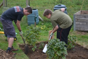 Planting out blackcurrant bushes grown from last year's cuttings