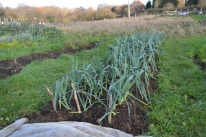 The leeks are ready to harvest