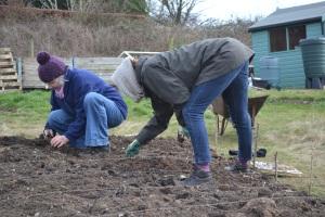 Potato planting 2