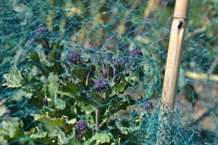 Purple sprouting broccoli producing flower heads ready for harvest