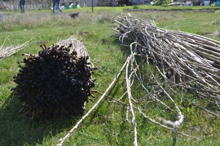 Commercially grown willow bundle, left, and home-grown right